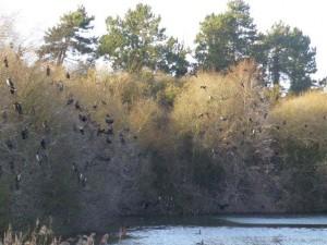 1er mars 2015 Wissant, les cormorans de l'étang du fonds du phare
